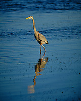 Great Blue Heron at Fort De Soto park. Image taken with a Fuji X-H1 camera and 200 mm f/2 OIS lens + 1.4x teleconverter (ISO 200, 280 mm, f/4, 1/1900 sec).