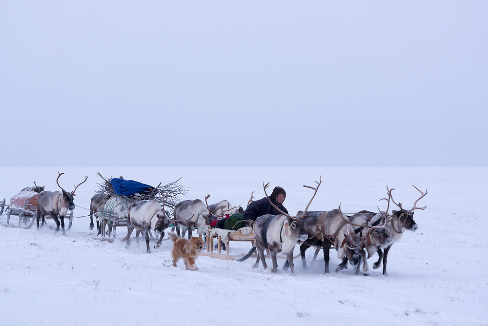 A Nenet man moves loaded sleds with gear during migration to new pastures.