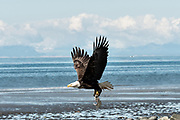 An adult bald eagle takes flight carrying fish scraps on the beach at Anchor Point, Alaska.