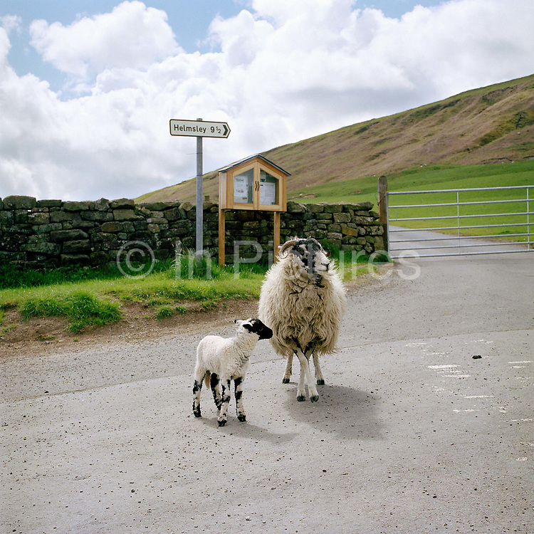 A Swaledale ewe and lamb standing in the road near Breck House farm, Bransdale, North York Moors National Park, North Yorkshire, UK.