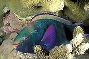 swarthy parrotfish or black parrotfish, Scarus niger, <br /> asleep in coral reef at night, Layang Layang Atoll, Sabah, Borneo, Malaysia ( South China Sea )