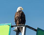 Bald Eagle, Auke Bay, AK