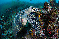 A Hawksbill Sea Turtle feeds upon encrusting sponges<br /> Shot in Indonesia