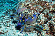 hunting coalition of blue goatfish or gold-saddle goatfish, Parupeneus cyclostomus, with a bluefin jack or omilu or bluefin trevally, Caranx melampygus, Kohanaiki, North Kona, Hawaii ( the Big Island ), USA ( Central Pacific Ocean ); the jack is in a dark color phase, possibly signaling aggression or dominance; in middle frame can be seen a glimpse of the whitemouth moray, Gymnothorax meleagris, which is the nuclear animal