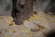Belo Horizonte_MG, Brasil...Guapuruvu ( Schizolobium parahyba ), especie de arvore da Mata Atlantica, florida nas ruas do Bairro Anchieta. Na foto danos na calcada...Guapuruvu flowering tree ( Schizolobium parahyba ), typical tree from Mata Atlantica, in the Anchieta neighborhood. In this photo, damage to the sidewalk...Foto: JOAO MARCOS ROSA / NITRO