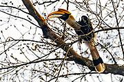 Great Hornbill (Buceros bicornis) feeding on figs in Kaziranga National Park, Assam, north-east India.