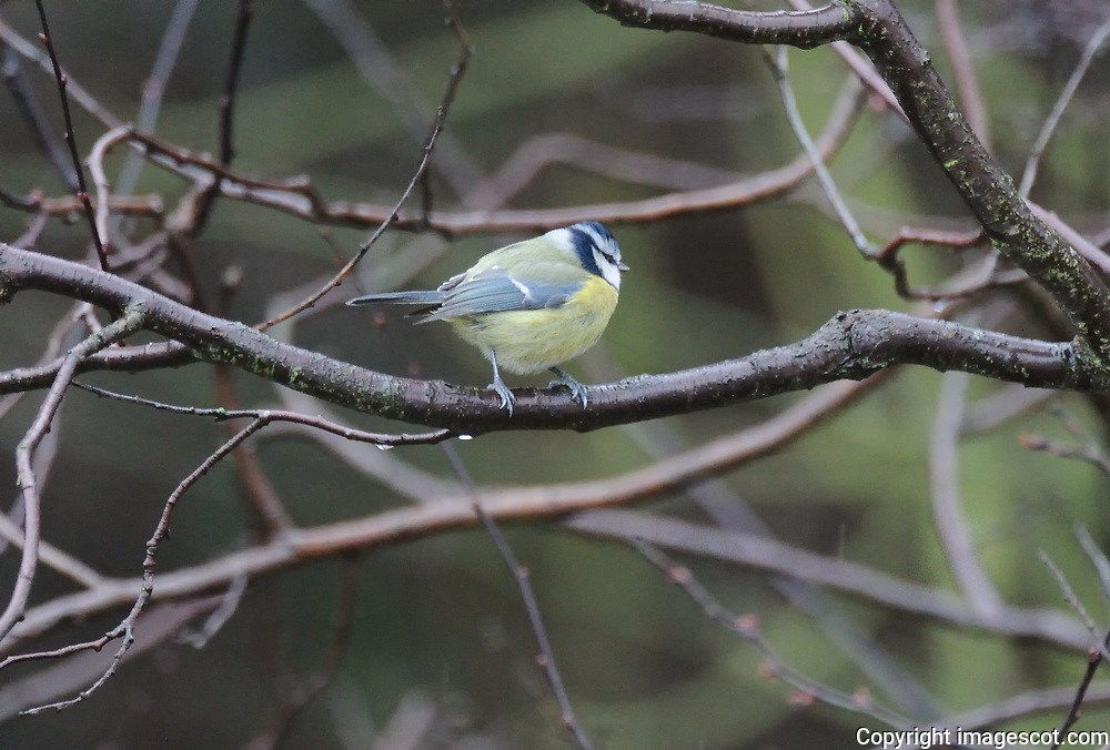Blue tit, winter<br /> *ADD TO CART FOR LICENSING OPTIONS*