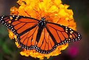 Alaska. Monarch Butterfly on a marigold flower.