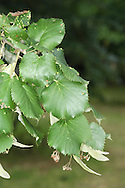 Silver-lime Tilia tomentosa (Tiliaceae) HEIGHT to 30m <br /> Broadly domed tree. BARK Grey, ridged. BRANCHES Mostly straight and ascending. Young twigs whitish and woolly, darkening with age; buds greenish brown, to 8mm long. LEAVES To 12cm long, rounded; with heart-shaped base, tapering tip and toothed margins; dark green, hairless and wrinkled above, white and downy with stellate hairs below. REPRODUCTIVE PARTS 5–10 off-white, strongly scented flowers are supported by yellowish bract. Fruit, to 1.2cm long, is ovoid, warty and downy. STATUS AND DISTRIBUTION Native from Balkans eastwards; planted here and thrives in towns. COMMENTS Woolly leaves ensure no aphids, and hence no honeydew. SIMILAR TREE Pendent Silver-lime T. 'Petiolaris' (Height to 30m) is similar to Silver-lime, but branches have pendulous tips. Leaf underside is very white and downy, as is the long petiole.