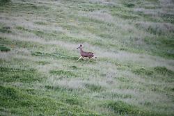 Black-Tailed Deer In The Foot Hills Along The Santa Clara River