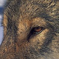 WOLF, Romania. Crai, a captive wolf studied by Carpathian Large Carnivore Project, near Zarnesti in Carpathian Mountains.