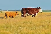 Cattle. Hereford<br /> Hodgeville<br /> Saskatchewan<br /> Canada