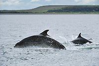 Bottle-nosed Dolphins breaching,<br /> Tursiops truncatus,<br /> Moray Firth, Nr Inverness, Scotland - June