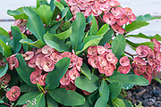 Flowering Euphorbia milii, common names include the crown of thorns, Christ plant, or Christ thorn, called Corona de Cristo in Latin America. Photographed in Tel Aviv, Israel in May