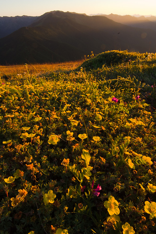Yellow cinquefoil wildflowers,  view from Blue Mountain, evening light, Olympic National Park, Washington, USA
