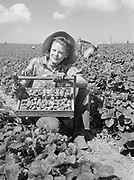 9969-5163. Strawberry picker Helen Williams, who has followed farm crops for two years. May 29, 1941. working on the T. Shigeno berry farm near Helvetia, Oregon