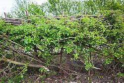 Layed hawthorn hedge. Crataegus momogyna