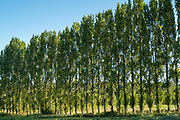 Line of tall Poplar, Populus,  trees in Jersey, Channel Isles