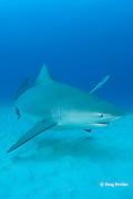 bull shark, Carcharhinus leucas, female in seasonal breeding aggregation, Playa del Carmen, Cancun, Quintana Roo, Yucatan Peninsula, Mexico ( Caribbean Sea )
