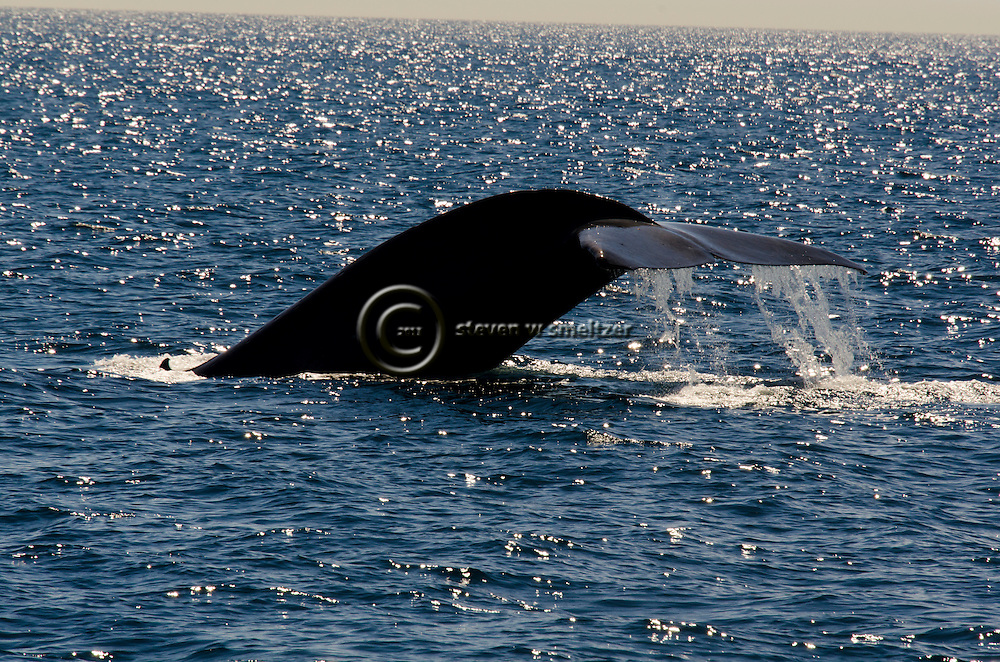 Blue Whale, Balaenoptera musculus, Great Whales, Endangered, Migration