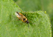 Close-up of an adult Mirid bug (Heterotoma merioptera) resting on a leaf in a Norfolk woodland habitat in summer