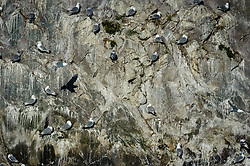 A colony of Black-legged kittiwakes occupy the steep vertical cliffs of South Marble Island in Glacier Bay National Park and Preserve in southeast Alaska.