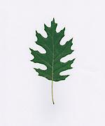 single Oak leaf on white background