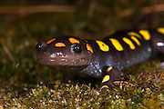 Spotted Salamander (Ambystoma maculatum)<br /> CAPTIVE<br /> Highlands Nature Center<br /> North Carolina<br /> USA<br /> HABITAT & RANGE: Hardwood &  mixed deciduous forests. Usually beneath ground level but pond nearby needed for laying eggs. Eastern United States.