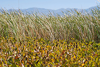 Cattails, Typha sp., and yerba mansa, Anemopsis californica, grow in a marsh near the site of Eagle Borax Works, on West Side Road in Death Valley National Park, California.