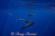 marine biologist Jeff Milisen dives to photograph a a pod of bottlenose dolphins, Tursiops truncatus, interacting with a short-finned pilot whale, Globicephala macrorhynchus, north Kona Coast, Hawaii, U.S.A. ( Central Pacific Ocean )
