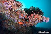 vermillion rock cod, coral rock cod, or coral cod, Cephalopholis miniata, resting under ledge, Rainbow Reef, North Male Atoll, Maldives ( Indian Ocean )