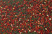 cranberries at harvest