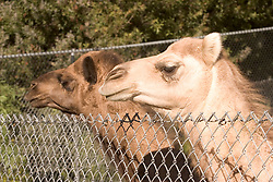 The two new female Dromedary camels added to the Oakland zoo look over the fence of their enclosure on their first day on display, Tuesday, Nov. 24, 2009 in Oakland, Calif. (D. Ross Cameron/Staff)