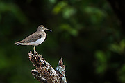 Wood Sandpiper (Tringa glareola)<br /> Mahaica River<br /> GUYANA<br /> South America