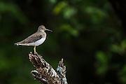 Wood Sandpiper (Tringa glareola)<br /> Mahaica River<br /> GUYANA<br /> South America