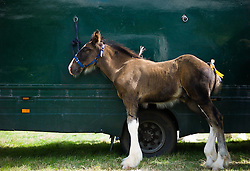 © Licensed to London News Pictures.15/08/15<br /> Rosedale, UK. <br /> <br /> A young foul is tethered to a horsebox during the Rosedale Country Show. This mainstay annual event remains as popular as ever attracting visitors and entrants from across the region.<br /> <br /> Photo credit : Ian Forsyth/LNP
