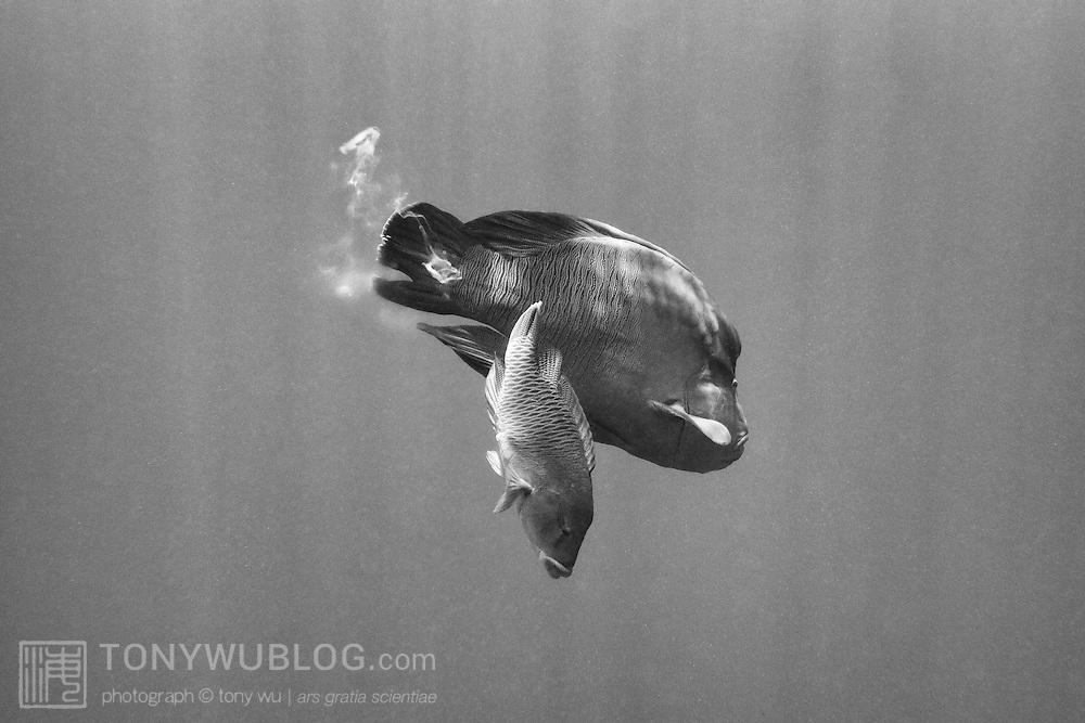 Napoleon wrasse (Cheilinus undulatus) spawning in Palau. The smaller female is in front, the male behind. Mature males spawn repeatedly with multiple females. This is photograph 4 of in a sequence of 5 images, with the entire sequence taking less than one second.