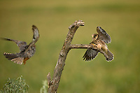Red-footed Falcons (Falco vespertinus) fighting in Hortobagy National Park, Hungary