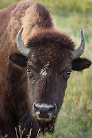 This bison was grazing on a September evening in the north unit of Theodore Roosevelt National Park.
