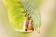 Puss moth larva (Cerura vinula) 5th instar feeding on scrub willow. Thursley Common, Surrey, UK.