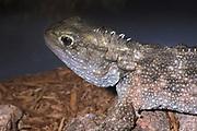 Tuatara, Sphenodon punctatus, captive, originates from New Zealand