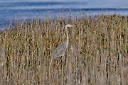 A Great Blue Heron stalks prey in coastal marsh grass at the Bear Island Wildlife Management Area in Green Pond, South Carolina.