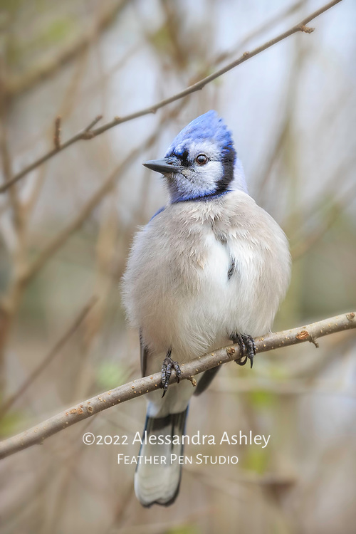 Blue jay (Cyanocitta cristata) perched in tree on a cold afternoon, feathers prepared for the weather.