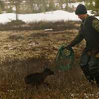 North of the Arctic Circle in Russia, Arthum Khantazeski, a nomadic Komi reindeer herder, approaches the one of the spring's first newborn calves to check its health.