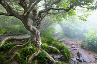 Gnarly tree in fog along the Craggy Pinnacle Trail, Craggy Gardens, Blue Ridge Parkway, North Carolina