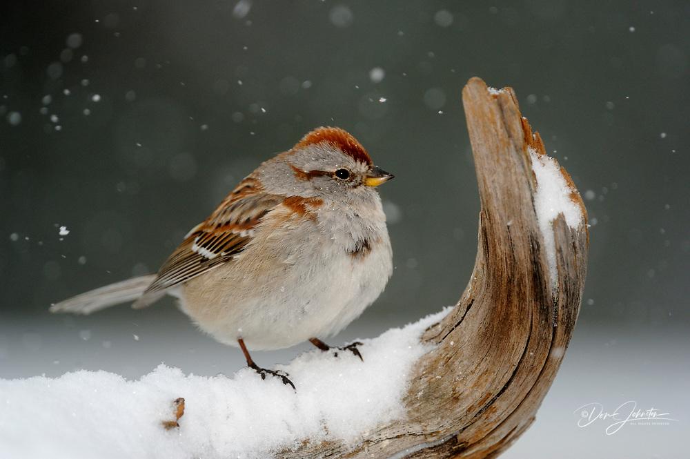 American Tree Sparrow (Spizella arborea), Greater Sudbury, Ontario, Canada