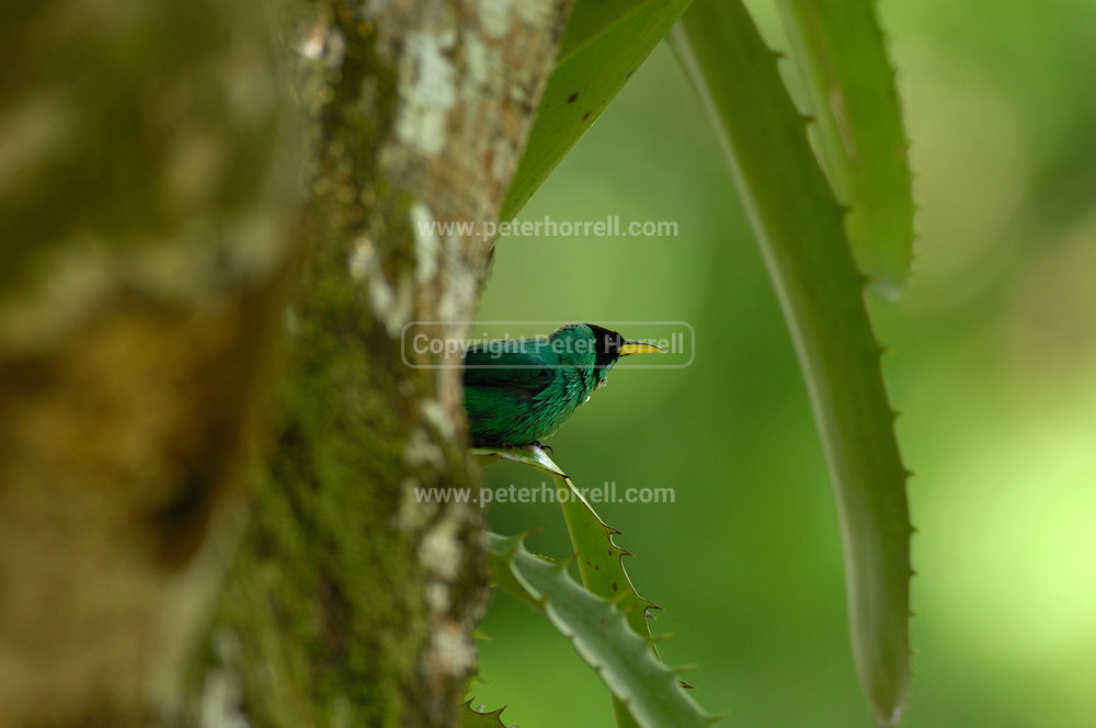 Cockscombe Basin Wildlife Sanctuary  - Saturday, Dec 31 2005: A male Green Honeycreeper (Chlorophanes spiza) perches on an aloe leaf at Cockscombe Basin Wildlife Sanctuary , Belize. (Photo by Peter Horrell / http://www.peterhorrell.com)