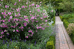 Lavatera 'Barnsley' in the Rose Garden at Sissinghurst Castle