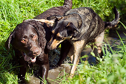 A playful Black and Tan juvenile mongrel dog play fights in small stream with a Chocolate Brown Labrador in a local Park<br /> <br /> 16 Aug 2010 <br /> Images © Paul David Drabble