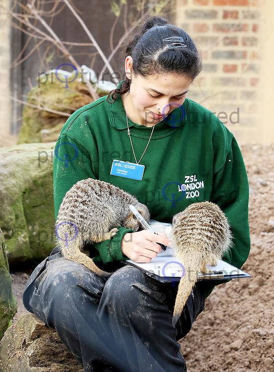 Meerkats, ZSL London Zoo - Annual Stocktake 2017, London UK, 03 January 2017, Photo by Brett D. Cove